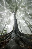 Huge tree in forest with fog