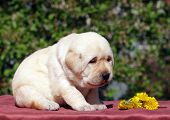 Newborn Yellow Labrador Puppy With Dandelions