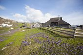 stock photo of velika  - Spring crocuses on Velika Planina plateau in Slovenia - JPG