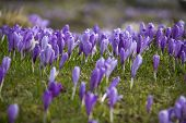 Beautiful spring crocuses on Velika Planina plateau in Slovenia.