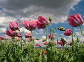 Close Up Of Opium Poppies