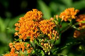 pic of plant species  - Butterfly weed is a species of milkweed native to eastern North America - JPG