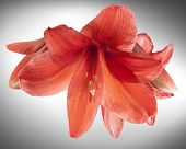 Red Amaryllis Or Belladonna Lily Flowers