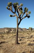 The Mighty and Majestic Joshua Tree stands tall and strong against the desert sun and heat in the Jo