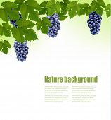 Background with grapes. Vector.