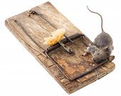 stock photo of dead mouse  - Dead gray mouse in a wooden mousetrap - JPG