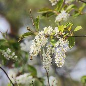 Flowering Bird Cherry Tree