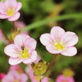 Saxifrage Flowers With Insects
