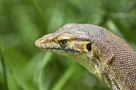 foto of goanna  - a closeup photo of a head view of goanna or lizard - JPG