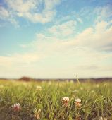 picture of clover  - Field of Clover on a summer day background - JPG