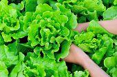 woman farmer hands picking green lettuce in vegetable garden
