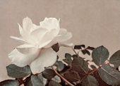 White Rose Vintage Style Photo