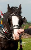 pic of shire horse  - Photo of a shire horse close up - JPG