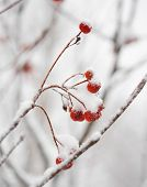 foto of rowan berry  - Red Rowan Berries Covered With Fresh Snow - JPG