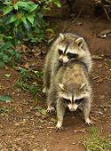 Raccoons Mating