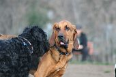 picture of bloodhound  - Bloodhound and Black Russian Terrier dogs playing - JPG
