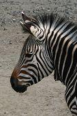 Hartmann's mountain zebra (Equus zebra hartmannae).