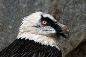 Bearded vulture (Gypaetus barbatus), also known as the lammergeier or lammergeyer.
