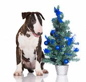 english bull terrier puppy with a christmas tree