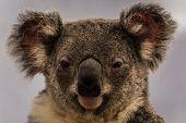 A close-up of a Koala in an Australian Koala Sanctuary