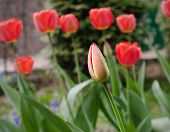 Tulip flower in the garden