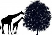 illustration with giraffes near tree isolated on white background