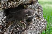 Baby Raccoon (procyon Lotor) Lies Sprawled Out In Log