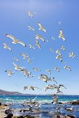 picture of swarm  - swarm of sea gulls flying close to the beach of mykonos islandGreece - JPG