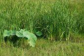Lotus Leaves And Typha Angustifolia In Floating Swamp