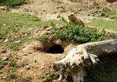 Groundhog near it's nest
