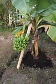 Short Banana Tree With Fruit