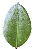 Fig Leaf With Water Drops