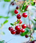Cherries red on branch with sky