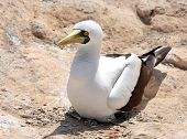 pic of booby  - Masked Booby sitting on rock - JPG