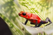 strawberry poison arrow frog, red blue jeans morph from Costa Rica tropical rain forest