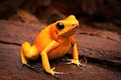 Постер, плакат: poisonous frog poison dart frog Phyllobates terribilis a dangerous animal from the tropical rain fo