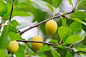 Plums yellow on branch
