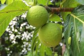 Large Green Citrus Fruit On The Tree