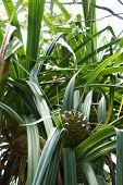 Pineapple On The Seychelles Still Green