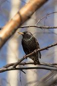 Starling On Birch Branch