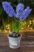 winter hyacinth