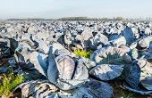 Organic Cultivation Of Red Cabbages