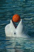 Beluga whale (Delphinapterus leucas) playing basketball.