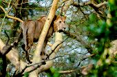 image of high fever  - A young lion standing up in the branch of a fever tree stairing out in the distance towards his right hand side as if he has seen some pray worth hunting - JPG