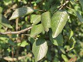 Embossed Leaves Of Plum