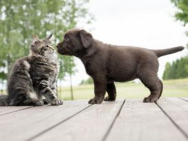 image of coon dog  - cute animals. puppy and maine coon kitten