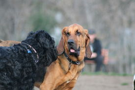 stock photo of bloodhound  - Bloodhound and Black Russian Terrier dogs playing - JPG