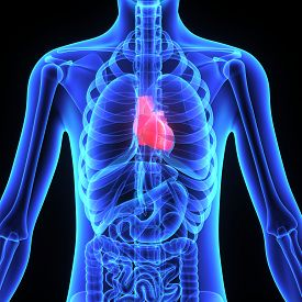 picture of organ  - The human heart is a vital organ that functions as a pump - JPG
