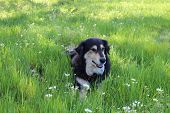 stock photo of border collie  - Border Collie relaxing in the cool spring grass - JPG