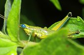 pic of leaf insect  - insect on leaf Grasshopper perching on a leaf - JPG